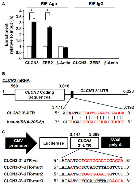 RNA-binding protein immunoprecipitation, predicted miR-205-5p binding site in the CLCN3 3′-UTR and construction of luciferase reporter plasmids.