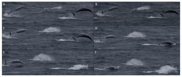 Sequence of photographs showing three True's beaked whales breaching together during the encounter in July 2018.