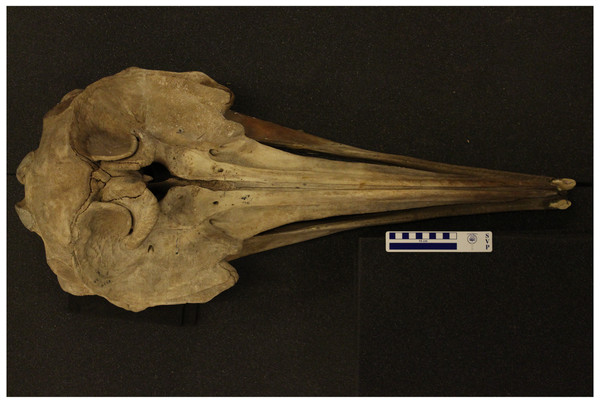 Dorsal view of an adult male True's beaked whale skull (NHMUK1920.5.20.1), showing two large apical tusks.