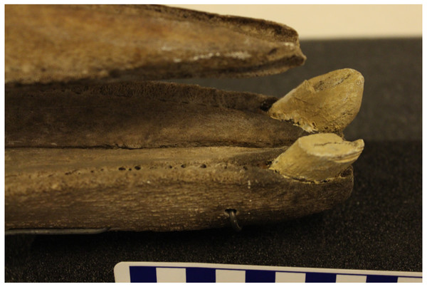 Lateral view of apical tusks in a male True's beaked whale (NHMUK1920.5.20.1).
