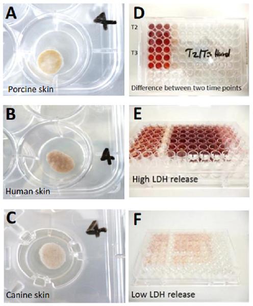 Illustration of skin cultivation samples and LDH measurement.