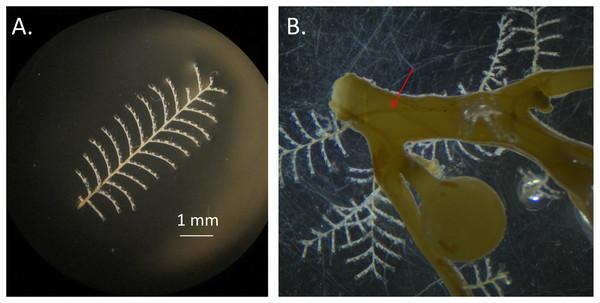 Aglaophenia latecarinata hydroids.