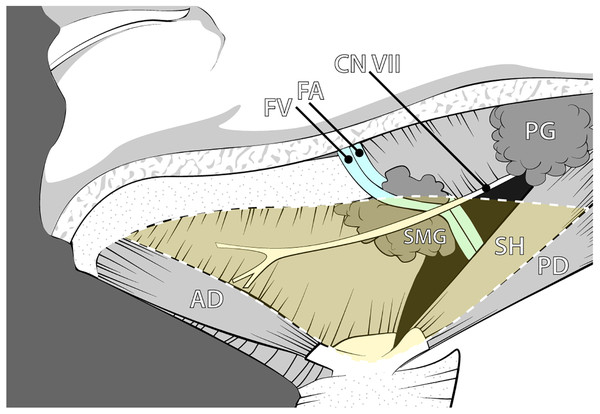 Anatomy of the submandibular region illustrating the classic anatomical relationships of the submandibular gland and associated neurovasculature.