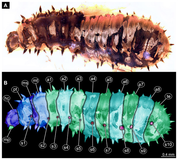 Dipteran larva, holotype of Dinobibio hoffeinseorum sp.n. GPIH, accession number (GPIH-0024) in lateral view.