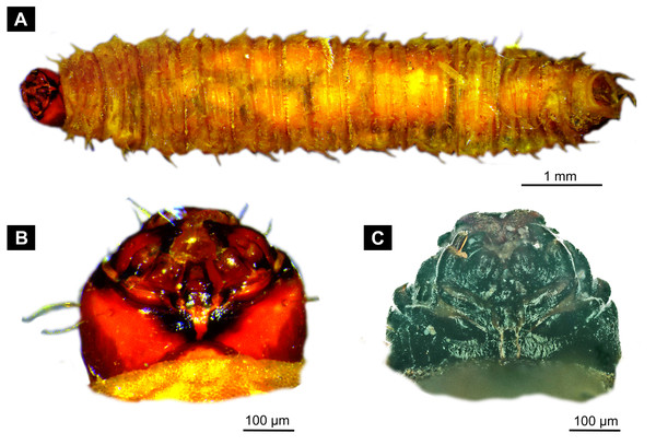 Extant larvae of Bibionidae. (A–B) Bibio varipies Meigen, 1830, CeNak, no collection number assigned. (C) Penthetria funebris (Meigen, 1804), ZSM, no collection number assigned.