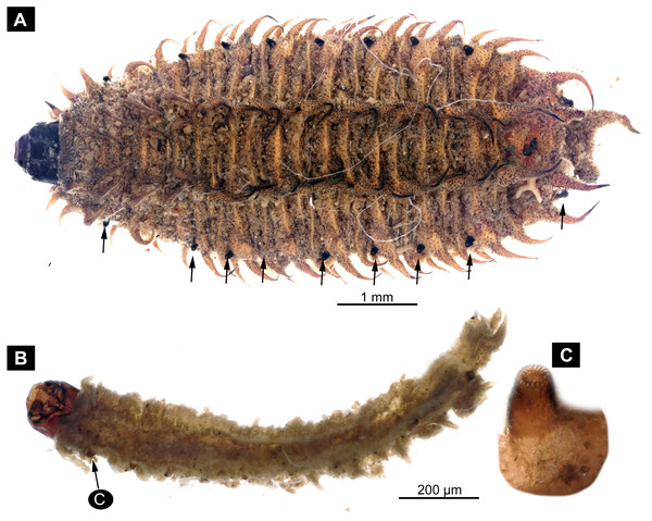 Extant larvae of Bibionidae. (A–C) Penthetria funebrisMeigen, 1804, ZSM, no collection number assigned.