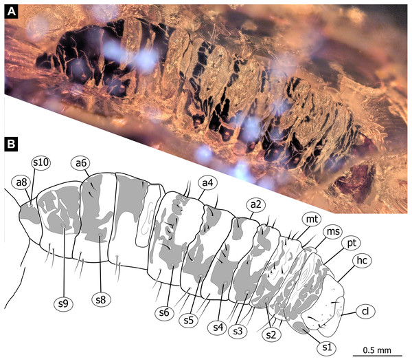 Fossil dipteran larva, Pachyneura, collection of GPIH, accession number (L-7617).