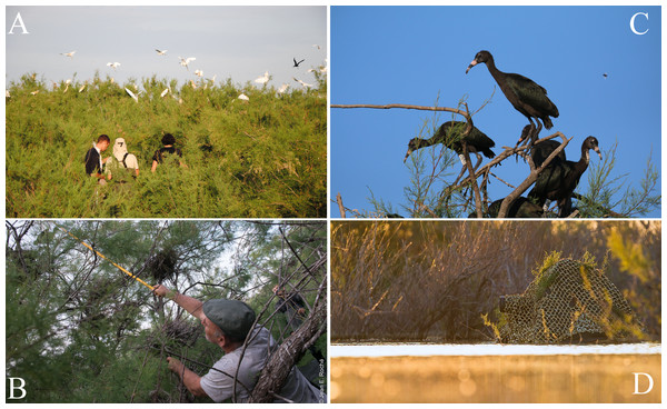 Capturing and marking Glossy Ibis chicks in a mixed heron colony.