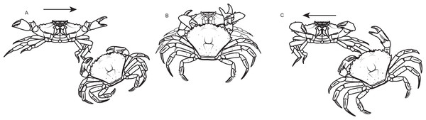 Standard agonistic behaviors of the shore crab Carcinus maenas.