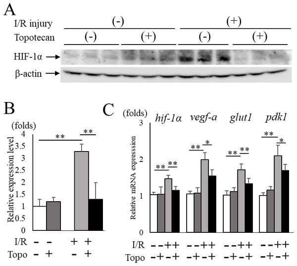 Topotecan administration suppresses increased HIF-1α and upregulated targetgenes in I/R retinas.