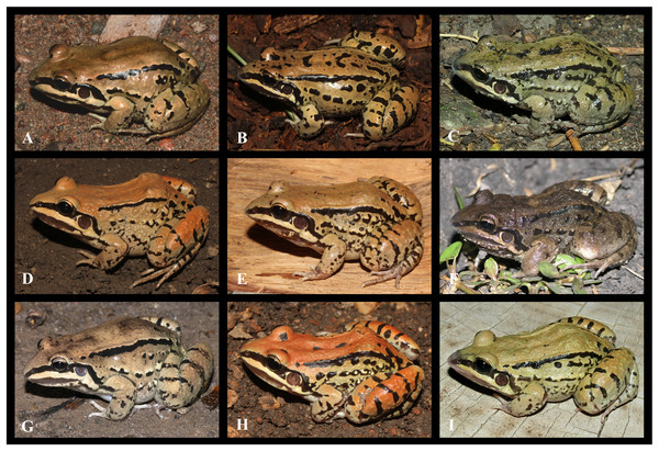 Intraspecific variation observed in Leptodactylus mystacinus.