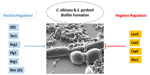 Transcriptional regulation of C. albicans and S. gordonii biofilms.