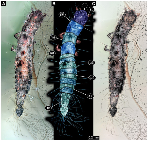 Larva of Scraptiidae preserved in Baltic Amber, specimen TripleB1 (PED 0006).