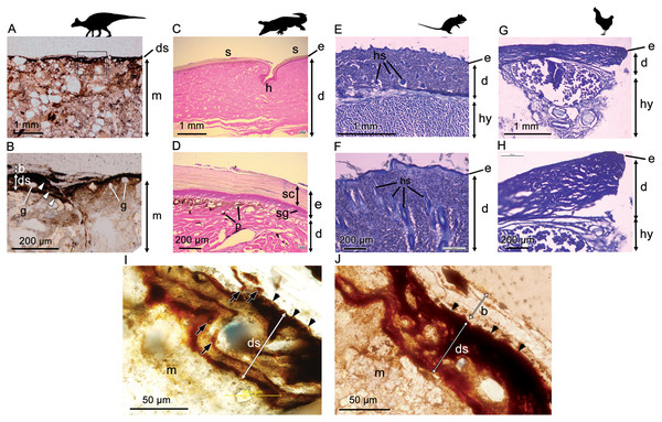 Comparative histology (transmitted light optical micrographs) of the skin of Edmontosaurus cf. regalis (UALVP 53290) (A, B), Crocodylus porosus (C, D), Rattus rattus (E, F), and Gallus gallus domesticus (G, H).