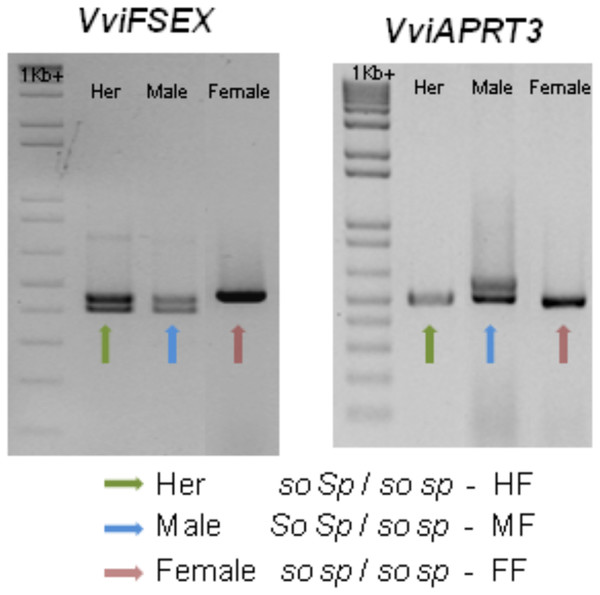 Schematic of the amplification of VviFSEX and VviAPRT3.