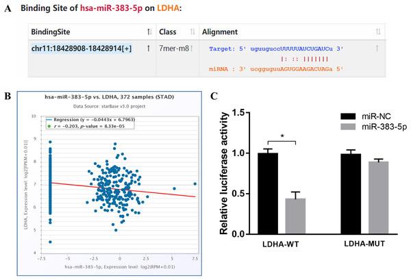 miR-383-5p directly targets LDHA.