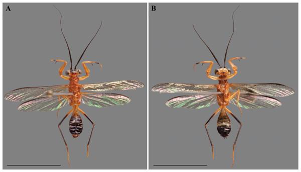 Vespamantoida wherleyi gen. nov. sp. nov. male holotype from Peru, specimen habitus photos (CMNHENT0129976).