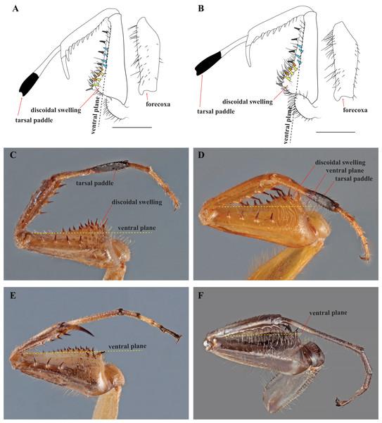 Prothoracic legs of Mantoididae genera illustrating diagnostic characters.