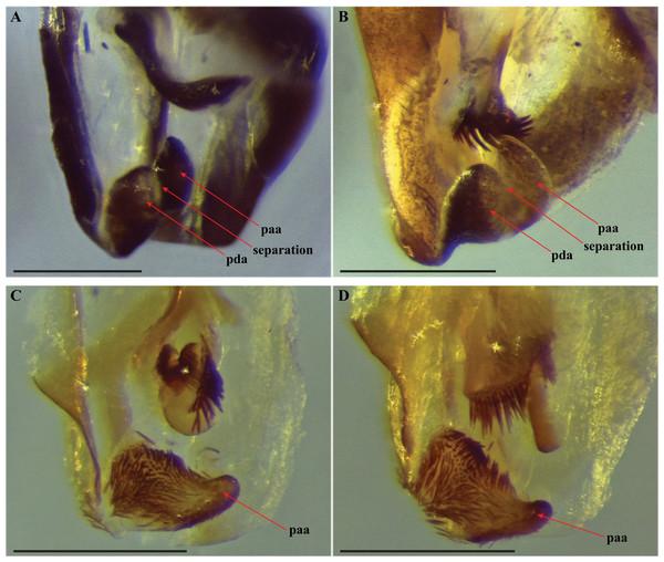 Terminus of the left phallomere complex of male genitalia.