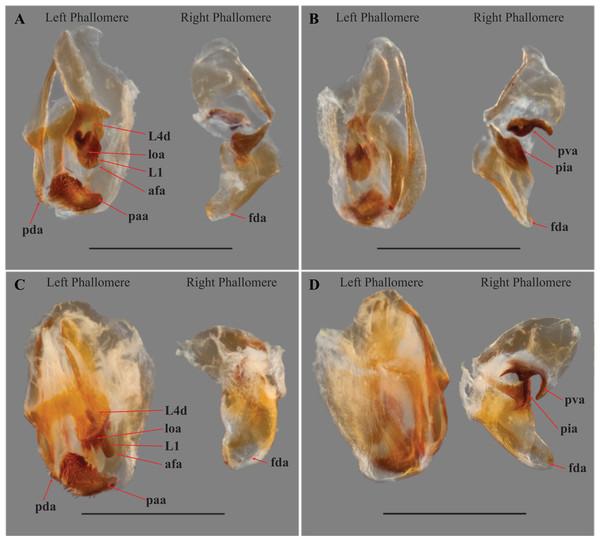 Male genital complex of Vespamantoida species.