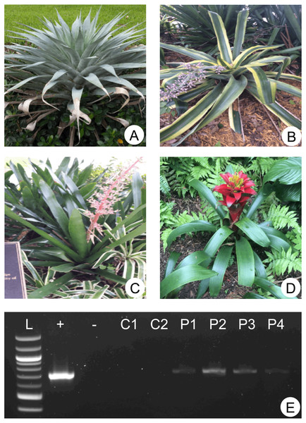 Sampled plants and molecular detection of phytotelmata oomycetes.