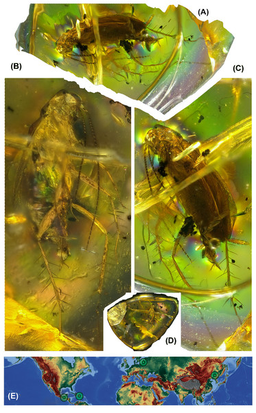 Photos of amber inclusion and map of destribution of genus Anaplecta spp.