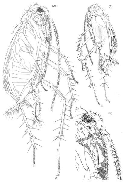 Line drawing of Anaplecta vega sp.n.