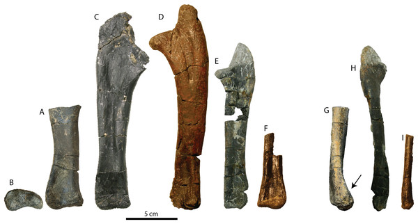 Ulna of RBCM P900, holotype of Ferrisaurus sustutensis, compared to other Laramidian leptoceratopsids.