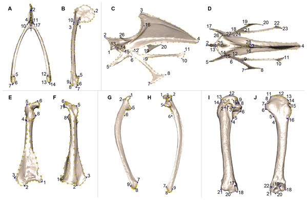 Landmarks used in the analyses to quantify shape variation on scapular bones.