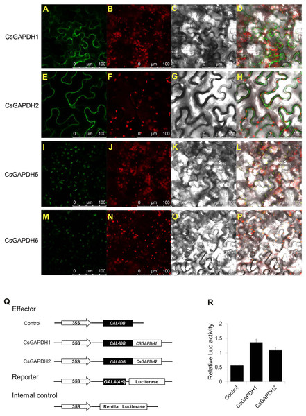 Subcellular localization and transcriptional regulation of CsGAPDHs proteins.