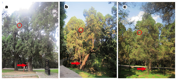 P. orientalis at different tree ages.