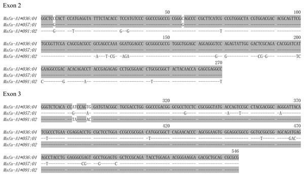 The nucleotide sequences alignment of Mafa-A1*036:04, Mafa-A1*057:01 and Mafa-A1*091:02.