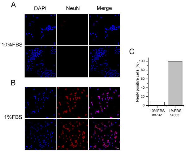 Differentiated F-11 cells express the neuronal nuclear antigen NeuN.