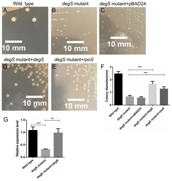 Compensation for degS and rpoS expression in degS deletion mutant could restore the colony size.