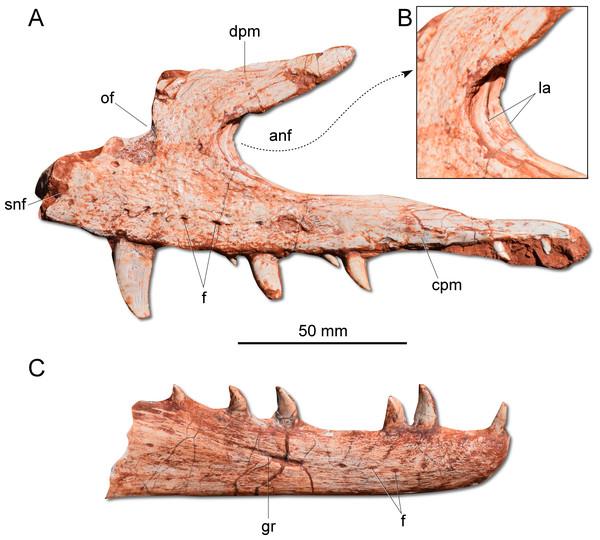 Photographs of selected skull bones of CAPPA/UFSM 0009.
