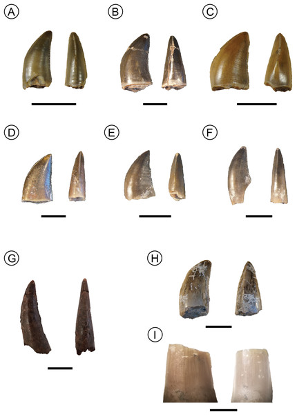 Examples of isolated teeth from the Manda Beds tooth assemblage.