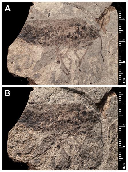 Prohepialus incertusPiton, 1940 (Holotype MNHN.F.R07025).