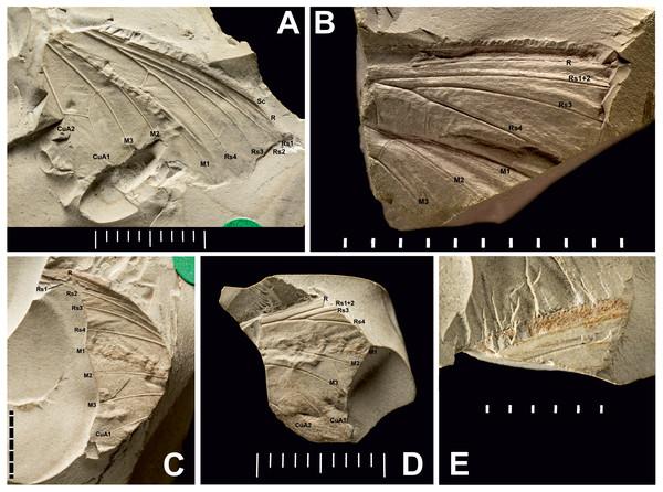 Three Prohepialus sp. fossils identified by Jarzembowski (1980).