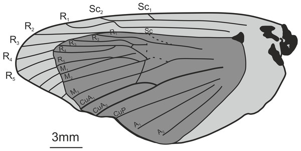 Oiophassus nycterusZhang, 1989. Holotype s82702.