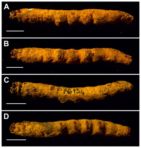 Mummified larvae from Pejark Marsh, Australia (P16153 and P16154).