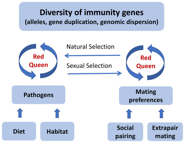 "A graphical illustration of the ""Promiscuous Red Queen"" hypothesis for the evolution of immune gene diversity and variation in female promiscuity."