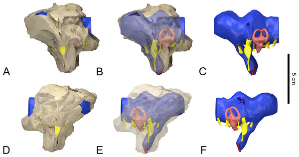 Surface-rendered CT-based reconstructions of the braincase, cranial endocast and associated soft tissues structures of the indeterminate titanosaurian specimen (FAM 03.064) from the Late Cretaceous of Fox-Amphoux-Métisson, France.