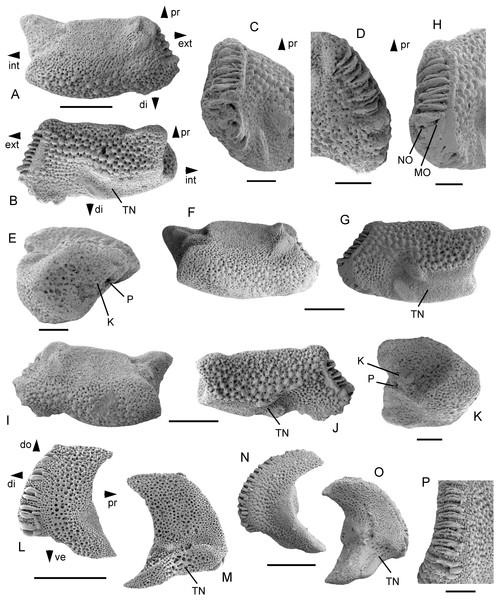 Astrosombra rammsteinensis gen. et sp. nov., dissociated lateral arm plates from the upper lower Maastrichtian of Rügen, Germany.