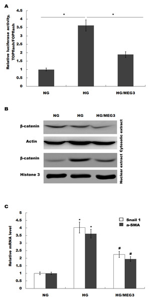 MEG3 inhibited the activation of Wnt/β-catenin signaling in podocytes.