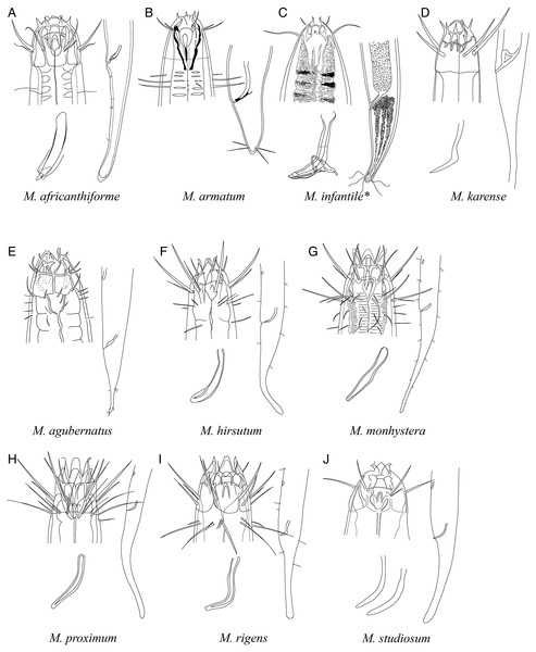 Pictorial key to species with spicules shorter than 2 anal body diameters within the genus Mesacanthion.