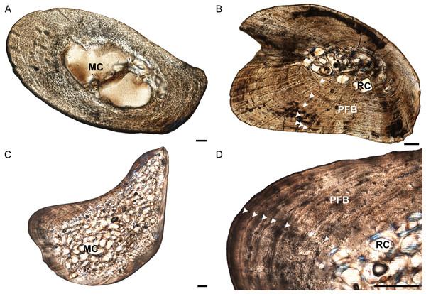 Ulna osteohistology of Stigmochelys pardalis.