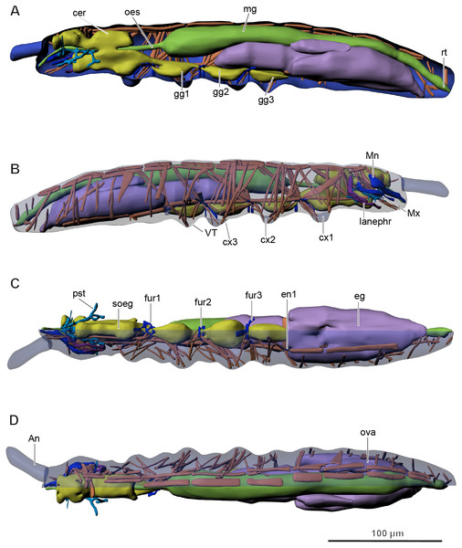 Internal morphology of Mesaphorura sylvatica, 3D.