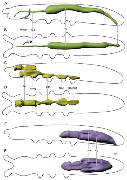 Digestive and excretory (A, B), nervous (C, D), and reproductive (E, F) systems of Mesaphorura sylvatica, 3D.