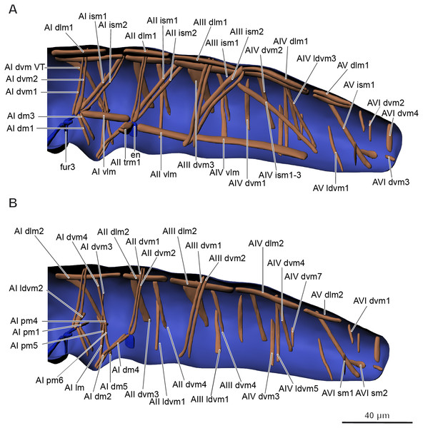 Musculature of abdomen in Mesaphorura sylvatica, 3D.