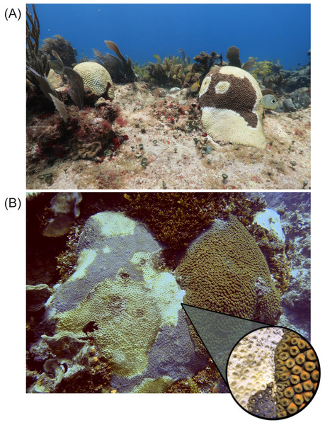 Susceptible species affected by Stony Coral Tissue Loss Disease during the outbreak.